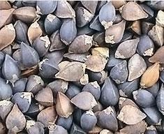 Нечищеные семена гречихи